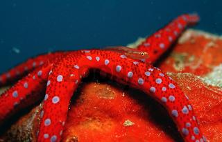 Mosambik-Zwerggrundel, roter Seestern, Pleurosicya mossambica, Common ghost goby on Red starfish,