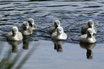 Hoeckerschwan, Mute Swan, cygnus olor, europe, europa