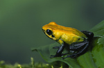 Poison Arrow Frog / Zweifarb-Blattsteiger