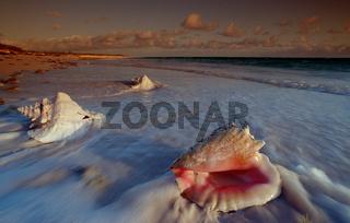 Conch am Sandstrand