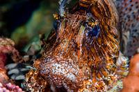 Kopf eines Rotfeuerfisch