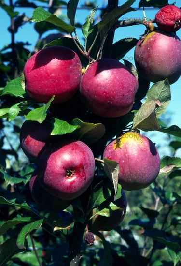 Apfel-Sorte Berner Rosenapfel