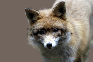 Rotfuchs / Red Fox / Vulpes vulpes