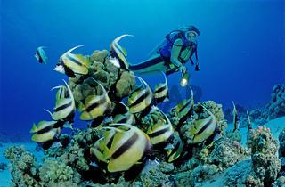 Rotmeer-Wimpelfisch und Taucher