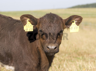 Rind / Cattle