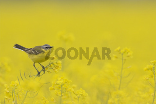 Schafstelze, Motacilla flava, Yellow Wagtail, Blue-headed Wagtail, Europe, Europa