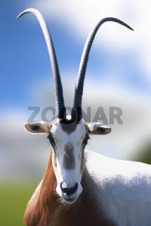 Scimitar-horned Oryx Oryx dammah