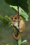Haselmaus / Hazel Dormouse / Muscardinus avellanarius