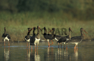 Schwarzstorch, Black Stork, ciconia nigra, Europe
