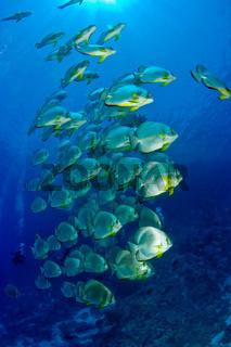 Fledermausfischschule
