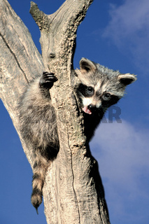 Waschbär / Common Raccoon / Procyon lotor