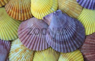 Scallops,  Kammuscheln ( Jakobsmuscheln ), Scallop Family, Pectinidae