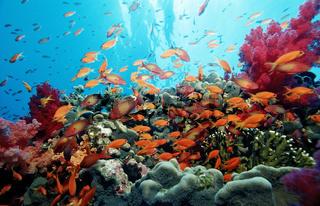 Haremsfahnenbarsche, Korallenriff, Pseudanthias Squamipinnis, Aegypten, Rotes Meer