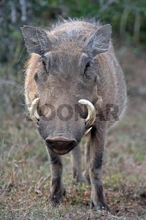 Warzenschwein, Warthog, frontal, Südafrika