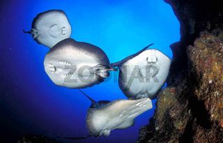 Marmorrochen manta marmorata marble ray