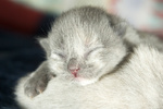 4 tage altes Katzenbaby, newborn, kitten, catbaby, blind, blindes, neugeboren, neugeborenes, catbaby, cat-baby