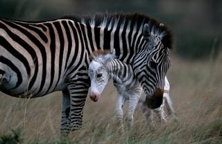 Steppenzebra, Rasse: Boehms Steppenzebra, Equus quagga boehmi, Common zebra