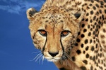Cheetah, Gepard, Acinonyx jubatus