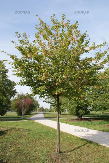 foto carpinus betulus, hainbuche, hornbeam bild #510452, Hause und Garten