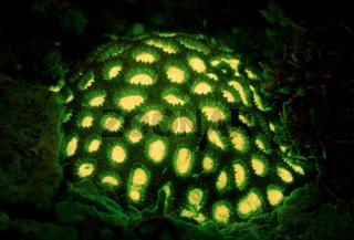 Fluoreszierende Steinkoralle