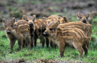 Wildschwein / Wild Boar / Sus scrofa