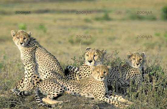 Cheetah, Gepard, Acinonyx jubatus, Masai Mara, Kenya, a nature document.