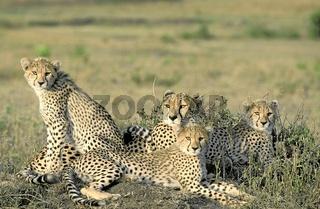 Cheetah, Gepard, Acinonyx jubatus, Masai Mara, Kenya, a nature document.