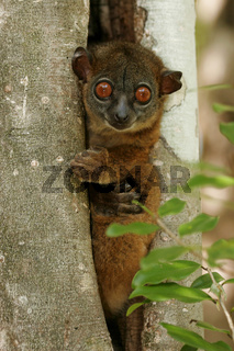 Northern sportive lemur in treehole