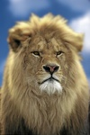 Lion / Loewe