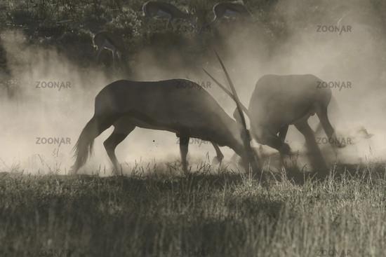 fighting gemsbok in morning mist