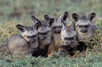 Bat-eared fox, Lffelhund,