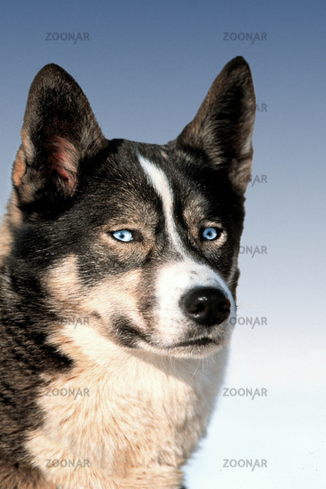 Sibirian Husky