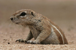 ground squirrel climbing out of burrow