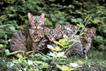 Common Wild Cat / Europaeische Wildkatze
