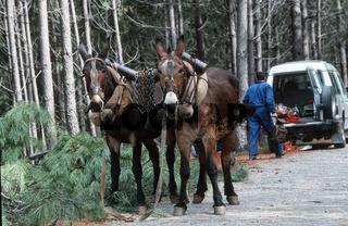Muli, Maultier / Mule