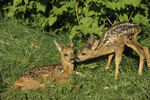 Reh / Capreolus capreolus / Roe Deer