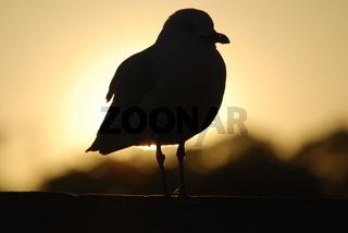 Möve in aufgehender Morgensonne