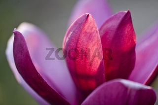 Magnolienblüte, Sorte Heaven Scent