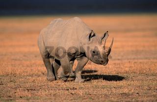 Spitzmaulnashorn, Diceros bicornis, Black Rhinoceros