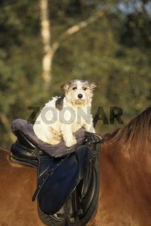 Jack Russel Terrier reitet auf Pferd