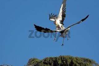 White stork, Weissstorch, Ciconia ciconia, Weisstorch