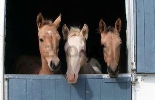 Achal Tekkiner, Equus przewalskii f. caballus, domestic horse