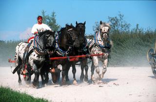 Noriker / south german coldblood (heavy) Horse / Süddeutsches Kaltblut