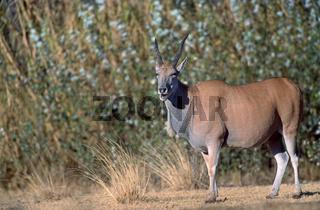 Taurotragus oryx, Elenantilope, Eland, Tragelaphus oryx, southern eland, common eland, afrika, africa