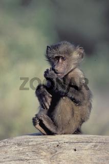 Anubis baboon, Anubis- Pavian