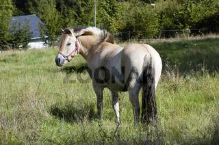 Norweger Fjordpferd / Norwegian Fjord Horse