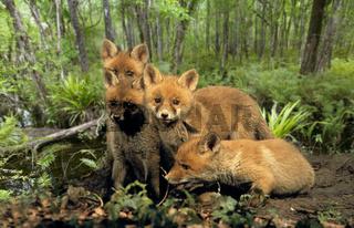 Rotfuchs / Red Fox / Vulpes vulpes
