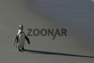 African penguin walking on beach