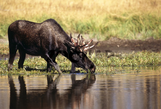 Elch, Moose, Bull, Alces alces, Yellowstone Nationalpark, USA