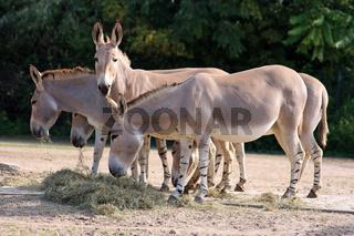 Somali-Wildesel,Equus afric.somalic. Sclater 2.jpg